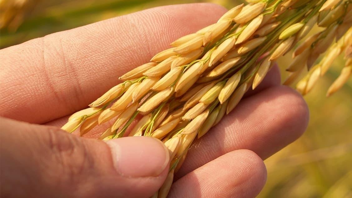 Ben's Original Website Rice Plant Hand