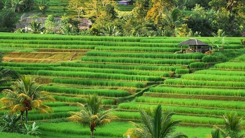 Ben's Original Website Rice Fields