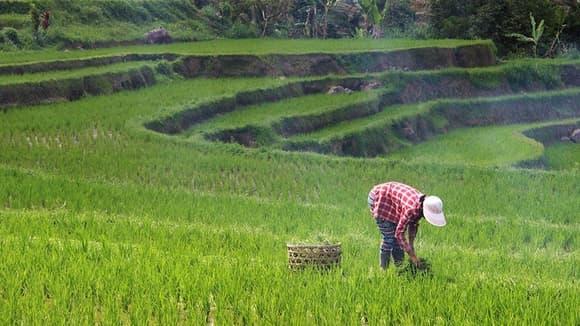 Ben's Original Website Harvests Rice